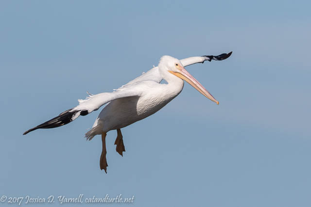 Landing Gear Down! American White Pelican at Viera Wetlands