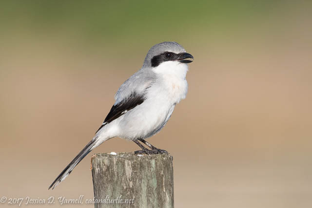 Loggerhead Shrike at Viera Wetlands