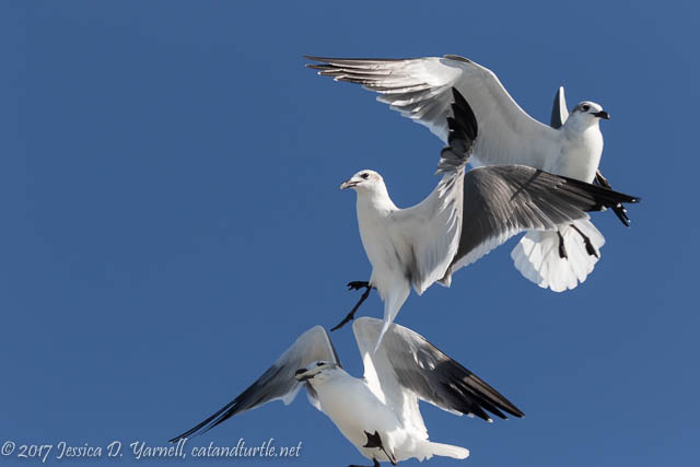 Laughing Gulls Vying for a Fish