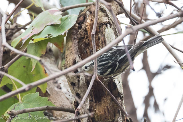 Black-and-white Warbler at Oakland Nature Preserve