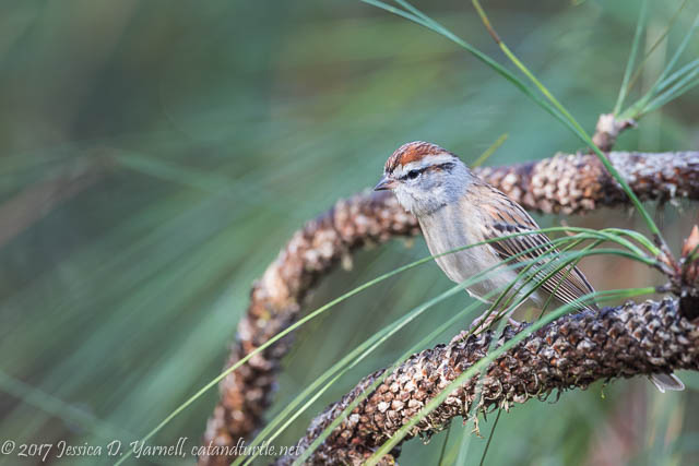 Chipping Sparrow at Oakland Nature Preserve