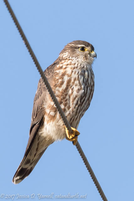My Nemesis Bird: The Merlin!