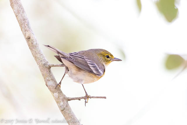 Pine Warbler at Oakland Nature Preserve
