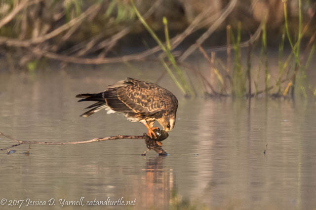Snail Kite Extracting Her Prey