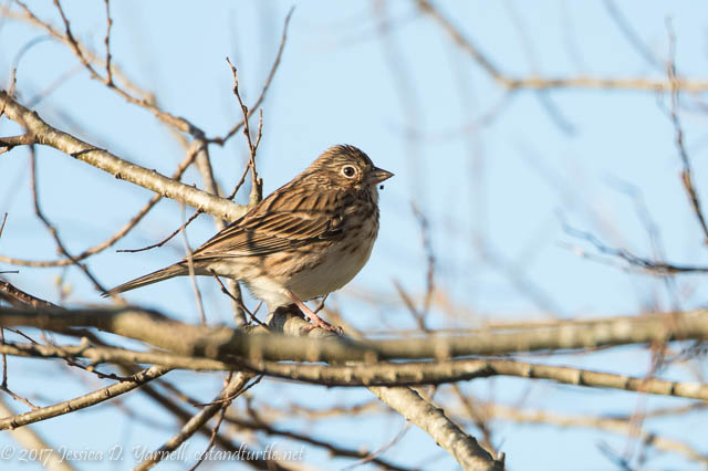 Vesper Sparrow at Lust Road Gate