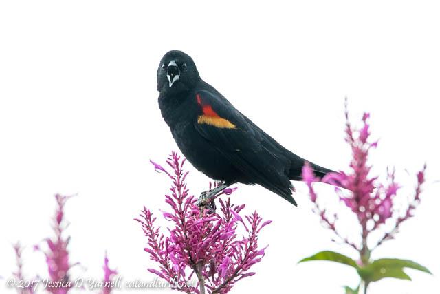 Red-winged Blackbird (a.k.a. Piggy)