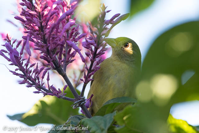 Greenie Painted Bunting closeup