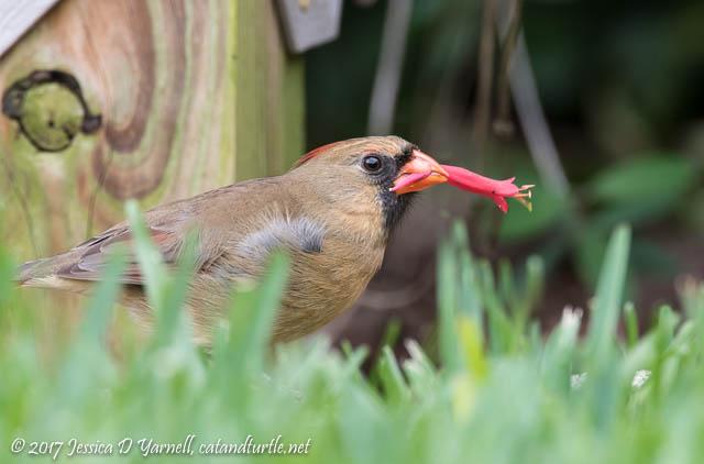 Northern Cardinal with Honeysuckle Bloom