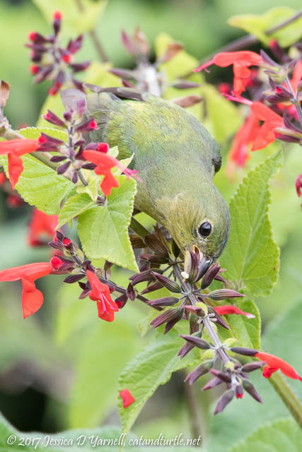 "Painted Bunting ""Greenie"" on Salvia"
