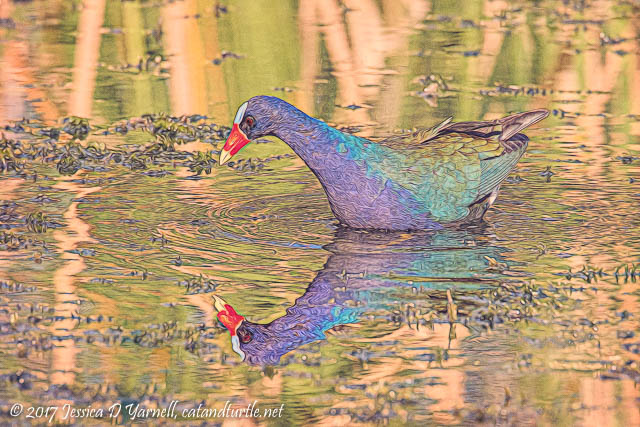 Purple Gallinule at Lake Parker Park