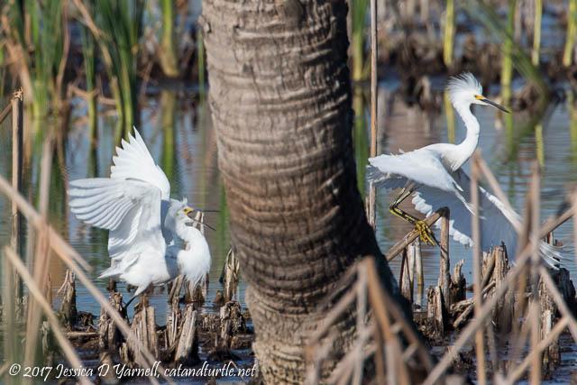 Snowy Egret Courtship Chase