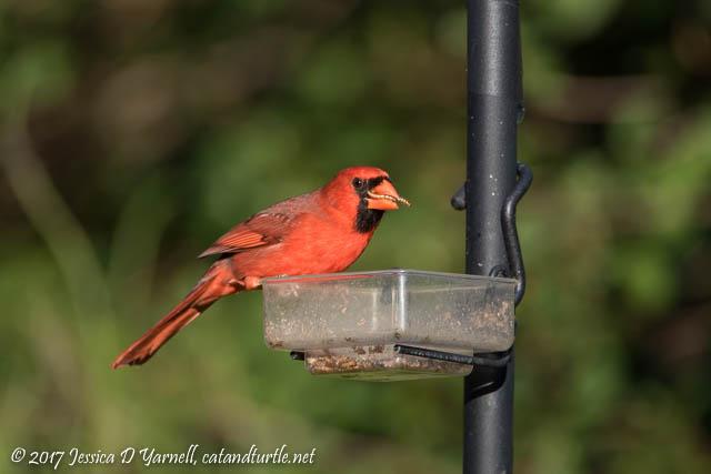 Cardinal Eating Mealworm