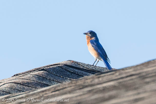 Eastern Bluebird at Goldy's House!