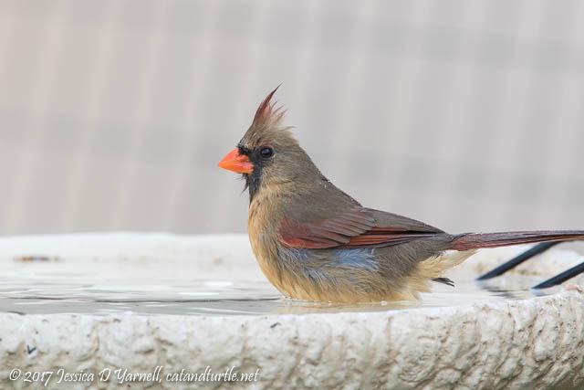 Northern Cardinal in Birdbath