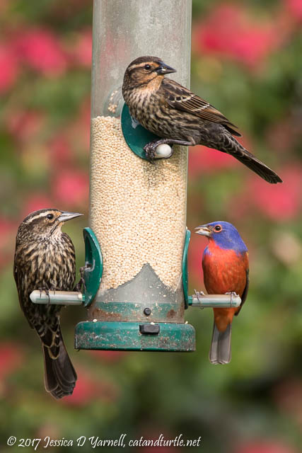 Red-winged Blackbirds and Painted Bunting