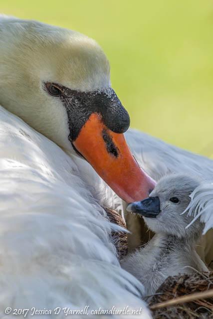 Mute Swan Mother & Cygnet