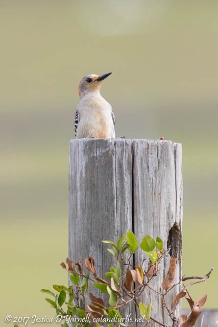 Red-bellied Woodpecker at Nest