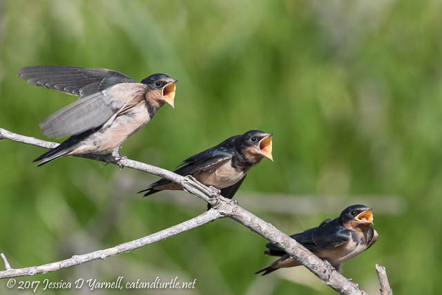 Baby Barn Swallows - Three Hungry Mouths