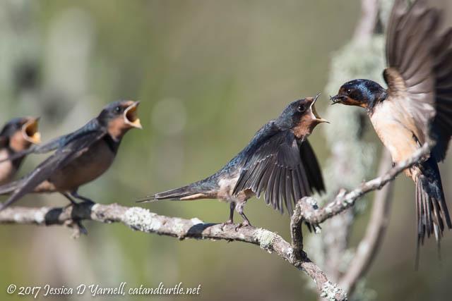 Barn Swallow Breakfast Time