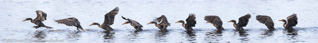 Double-crested Cormorant Take-off