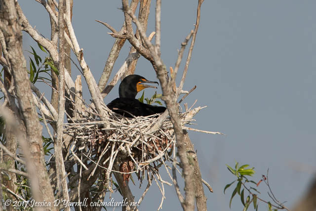 Double-crested Cormorant on Nest