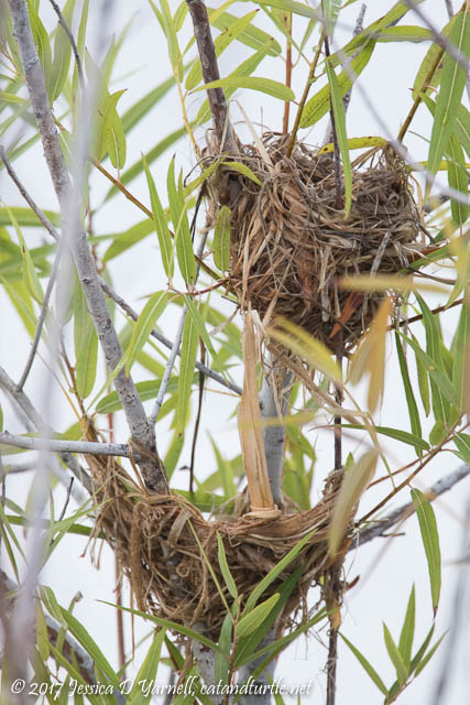 Double-decker Red-winged Blackbird Nest
