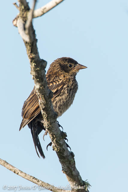 Fledgling Red-winged Blackbird