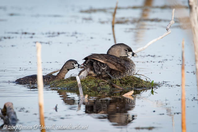 Pied-billed Grebe Babies at Nest with Both Parents