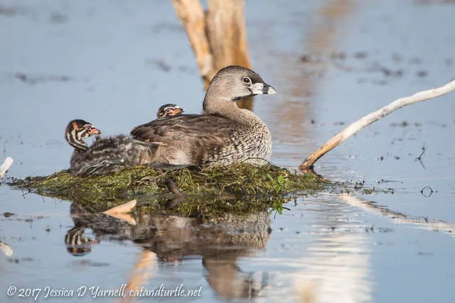 Pied-billed Grebe Babies on Mom's Back