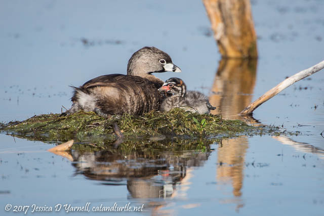Pied-billed Grebe Mother and Baby