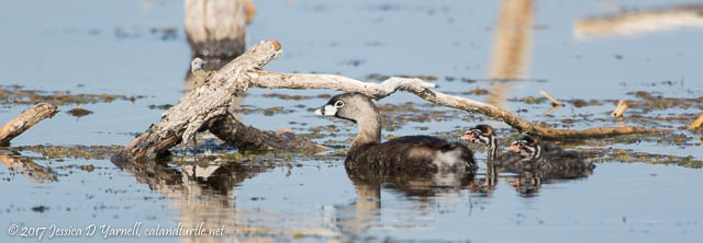 Pied-billed Grebe Mom and Babies Out for a Swim