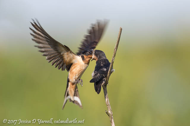 Barn Swallow Feeding Juvenile