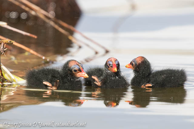 Common Gallinule Sibling Conference