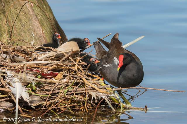 Common Gallinule Nest