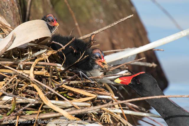 Common Gallinule Feeding Babies at Nest