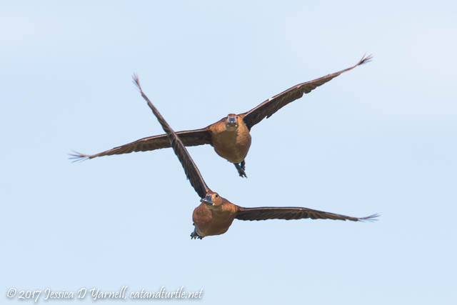 Fulvous Whistling-Ducks in Flight