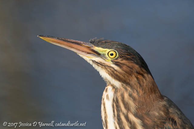 Green Heron Head Shot