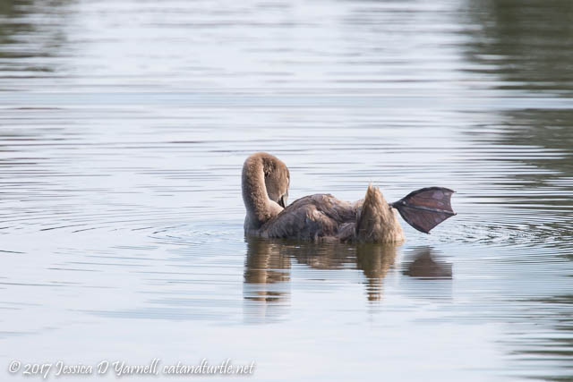 Juvenile Mute Swan Cygnet
