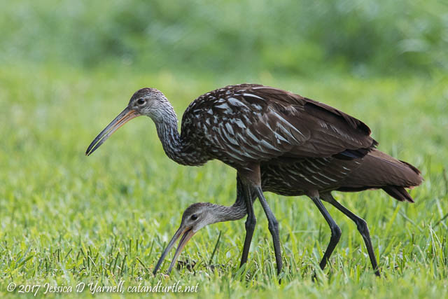 Limpkin with Juvenile