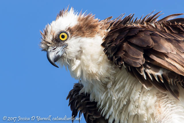Osprey Head Shot