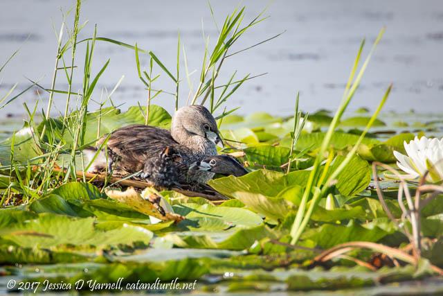 Pied-billed Grebe Feeding Baby at Nest