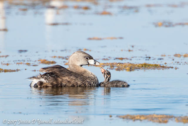 Pied-billed Grebe Mother & Baby