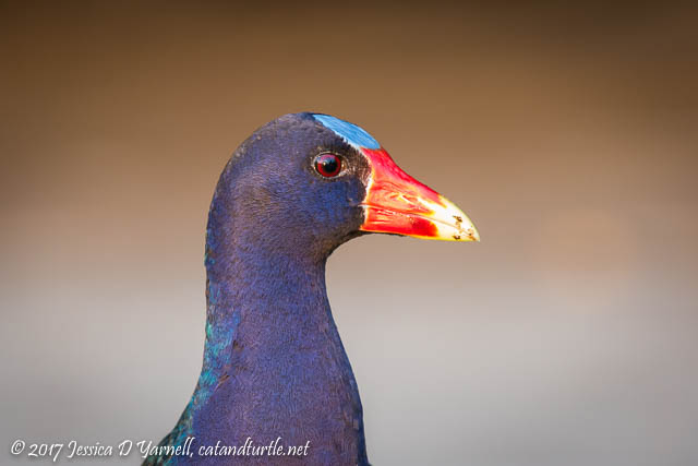Purple Gallinule Head Shot