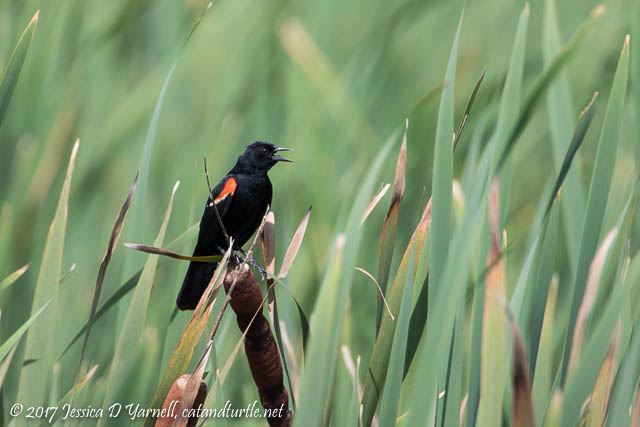 Red-winged Blackbird Among the Cattails