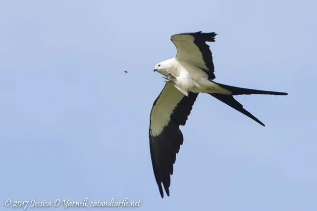 Swallow-tailed Kite Snatching a Bug