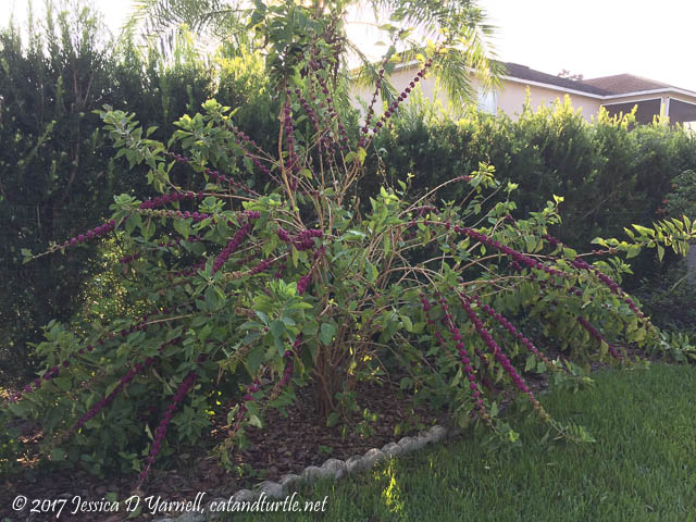 American Beautyberry Bush