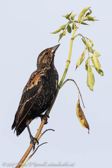 Juvenile Male Red-winged Blackbird