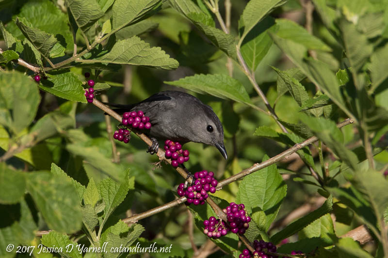 Gray Catbird at American Beautyberry