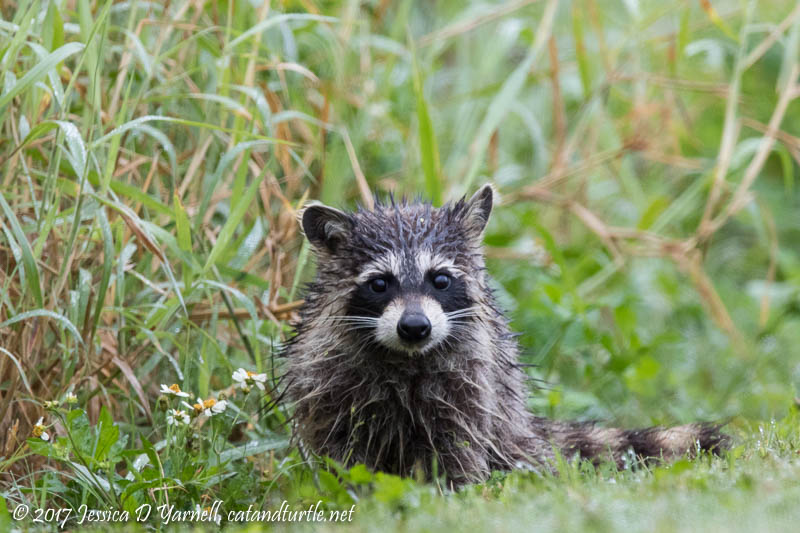 Wet and Cold Raccoon