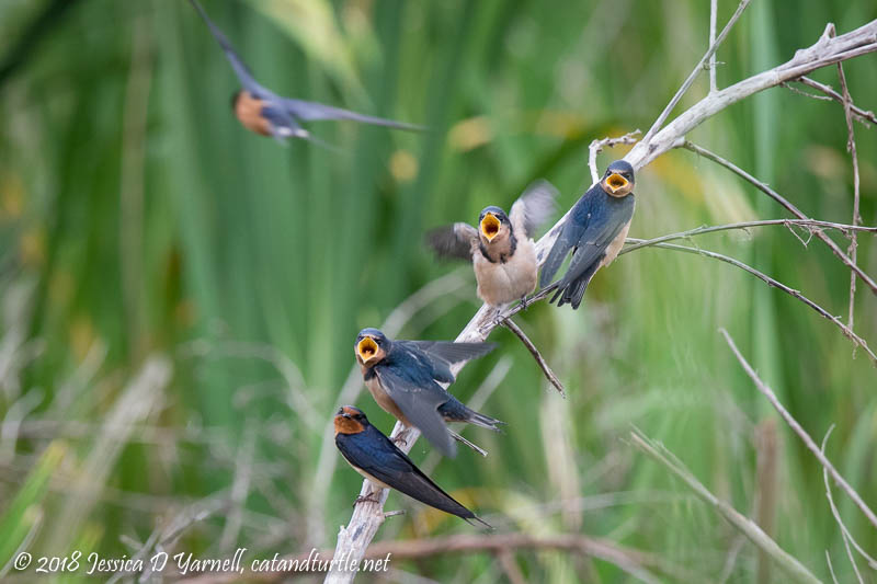 Begging Barn Swallow Babies